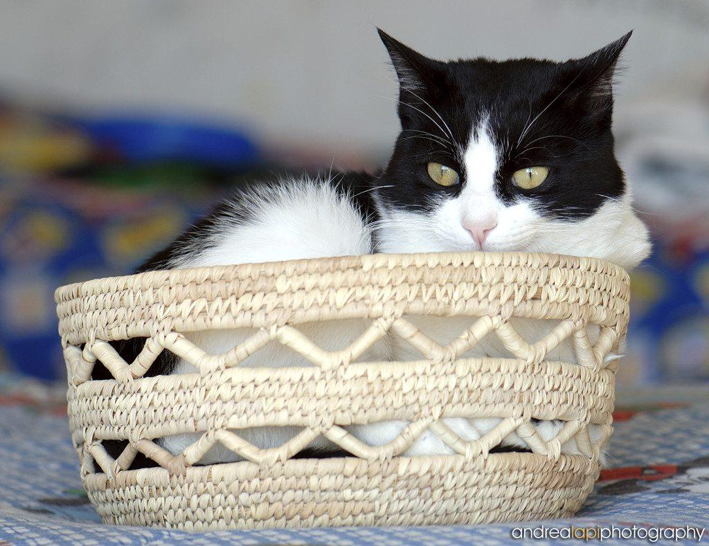 gatto ciccino