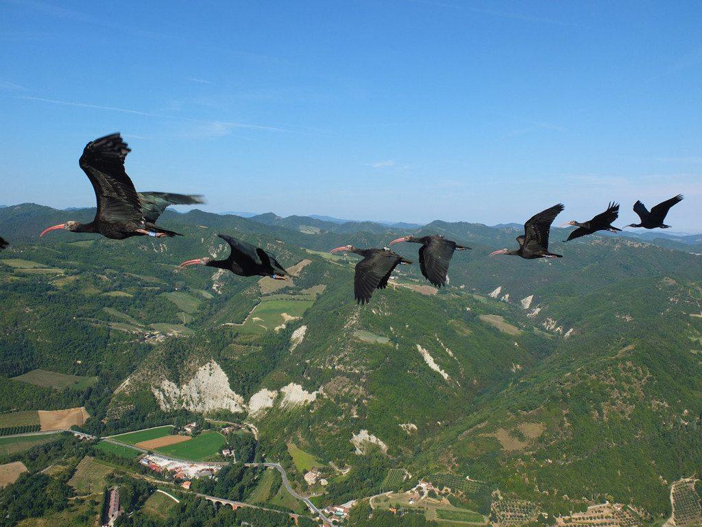 ibis12