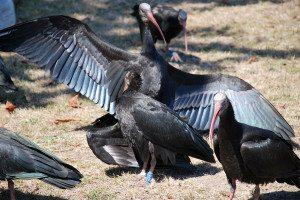 ibis7