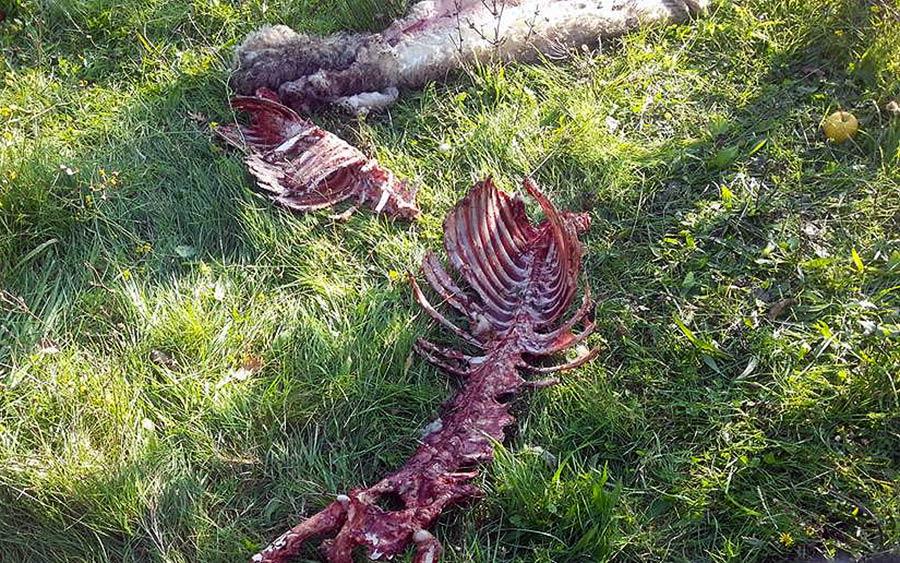 lupo-carcasse-pecore-i-pianacci-1