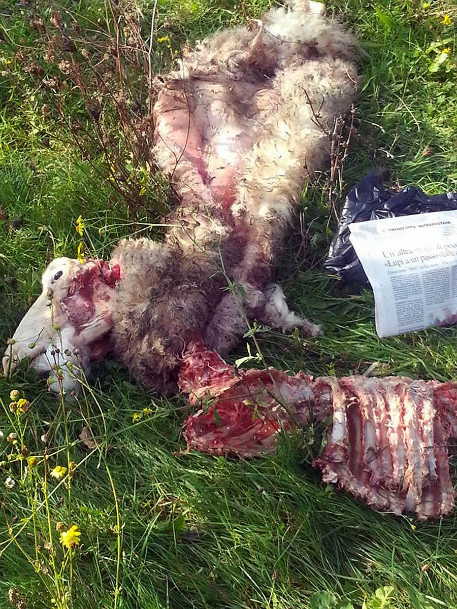 lupo-carcasse-pecore-i-pianacci-2