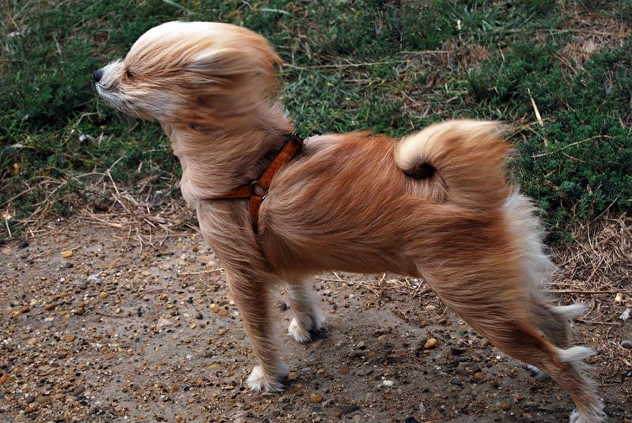 cane-vento