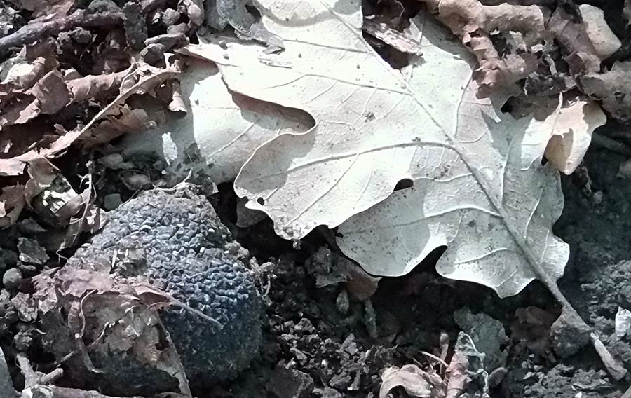 tartufo-e-valli-tartufigene-2