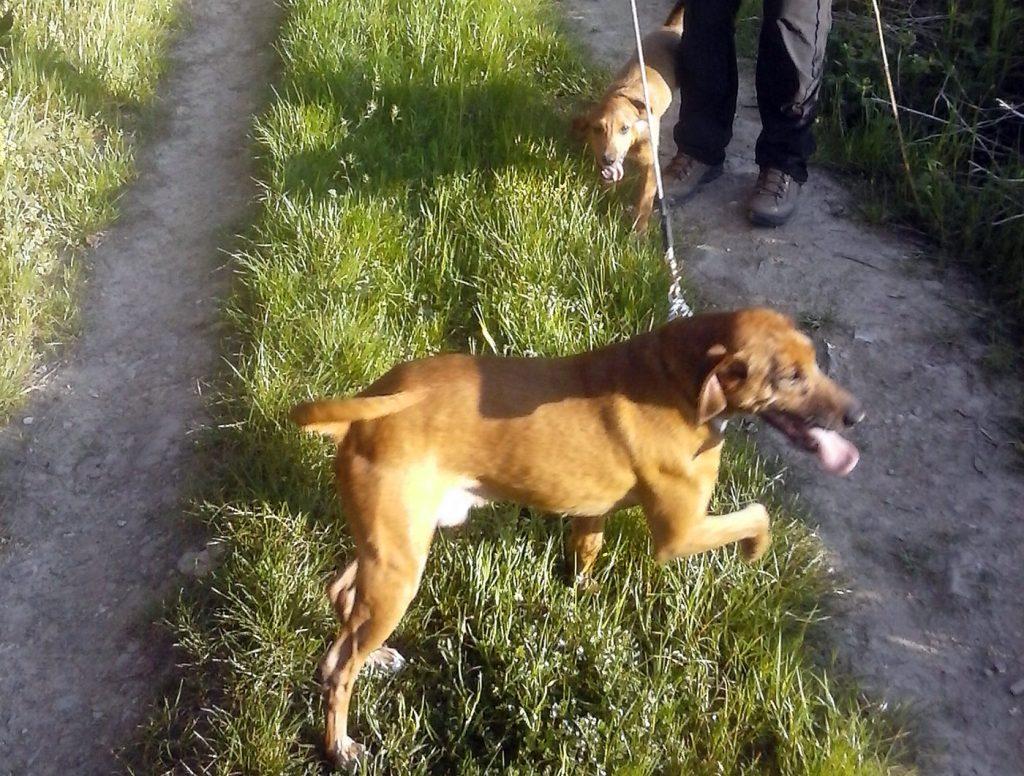 Tito-e-Buck i due cani smarriti a Vicchio