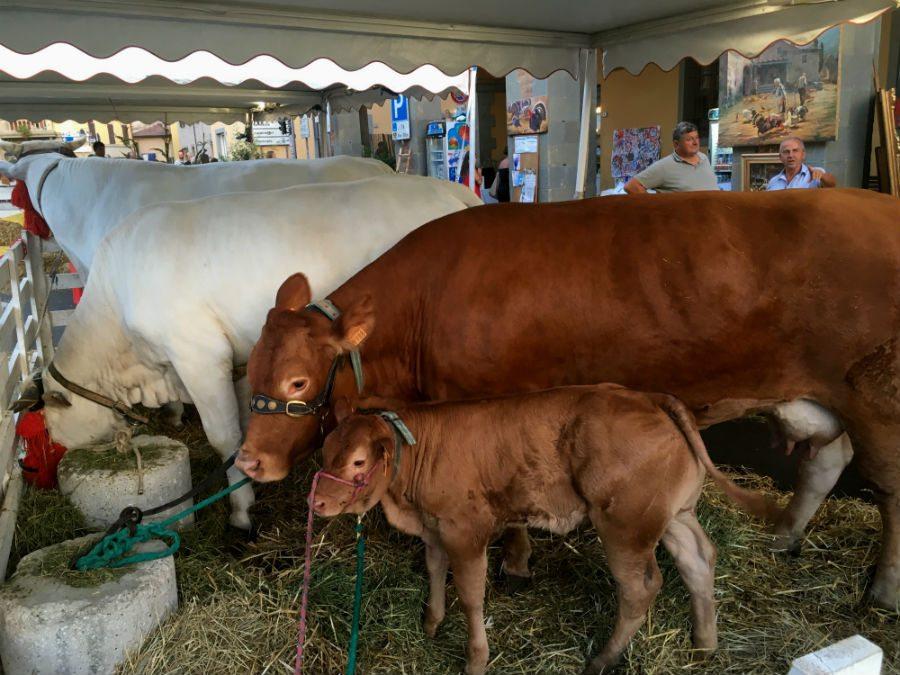 campagna amica 3 mucca e vitello