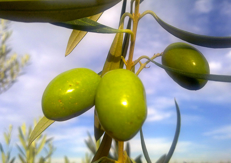 olive-olivi-ulivi