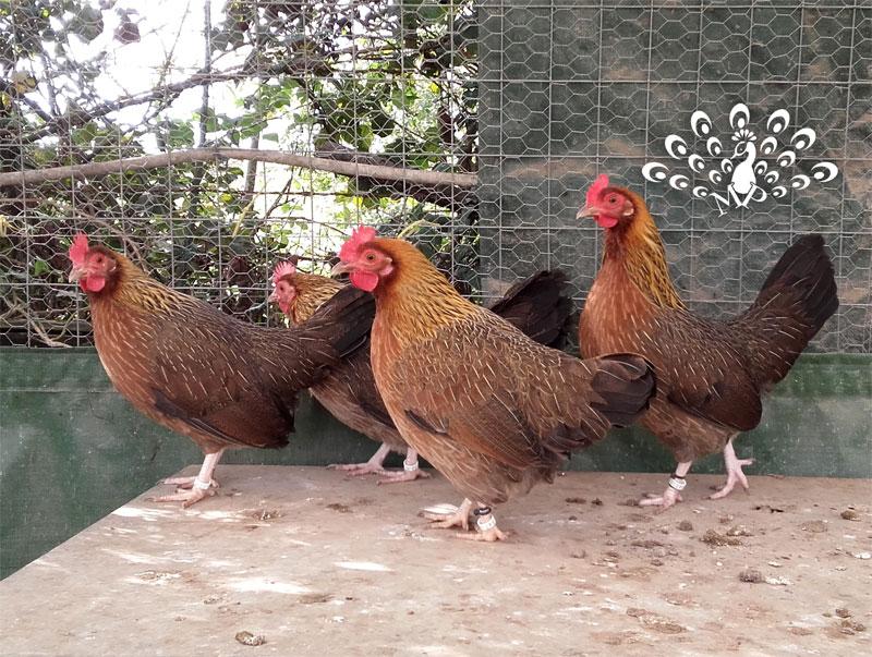 Le galline mugellesi collo oro (foto da www.tuttosullegalline.it)