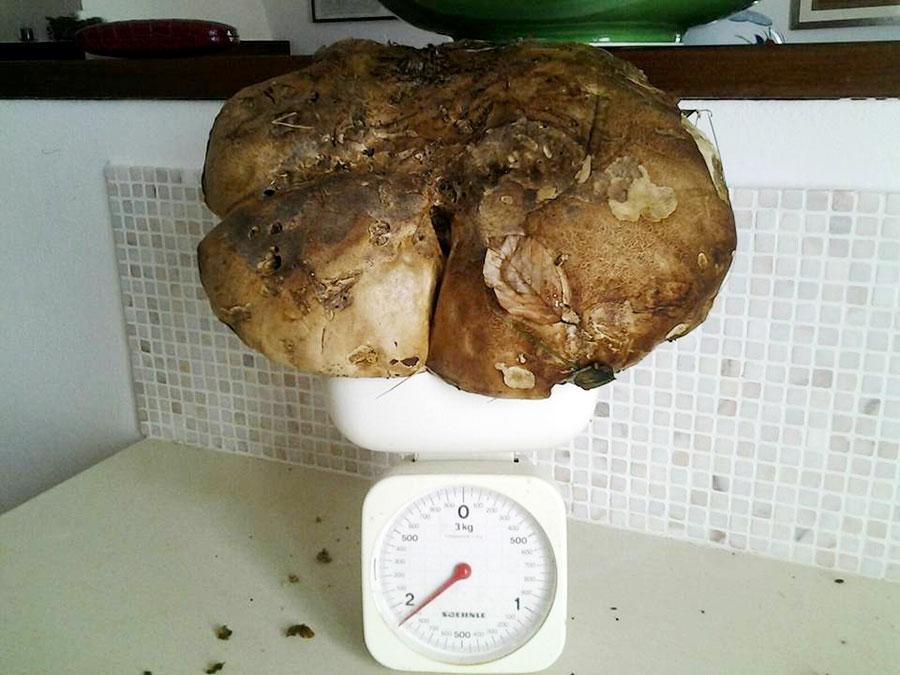 porcino-record-2-kg
